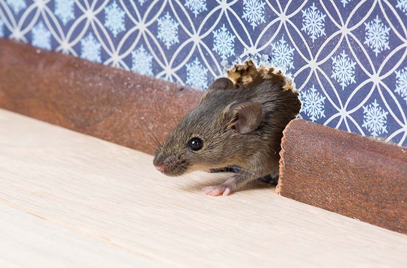 Keep Rats and Mice Out of Your Home