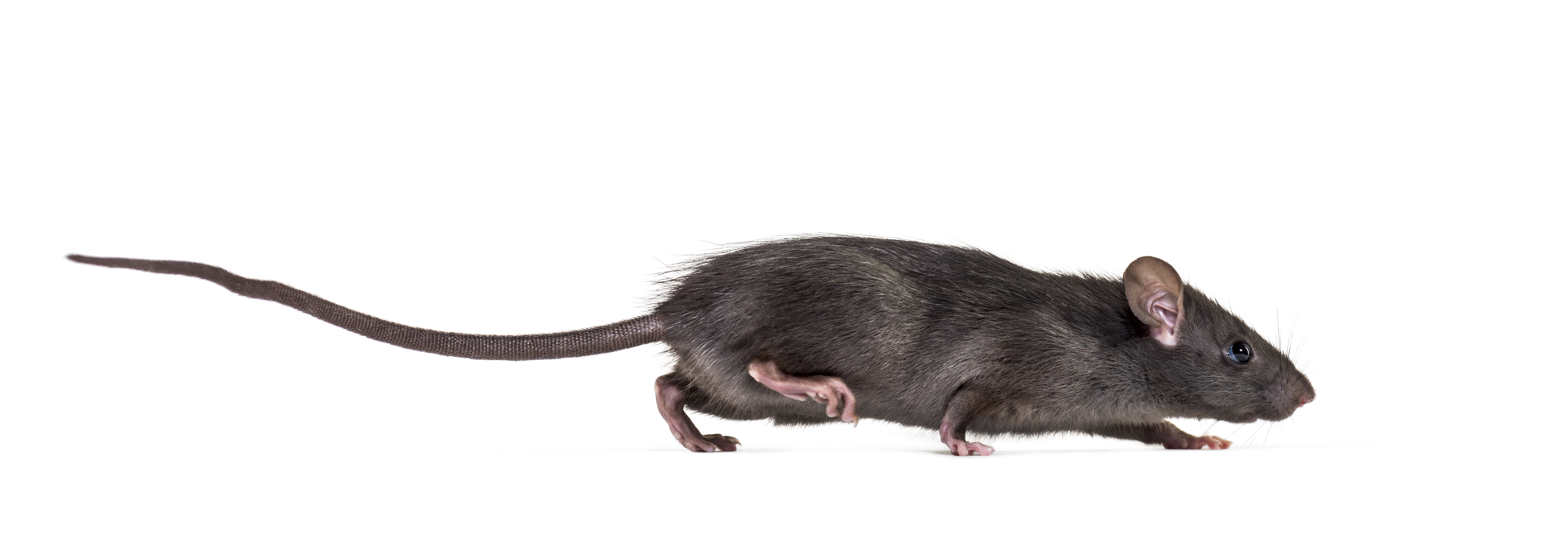 4 Interesting (but Scary) Facts about Rats