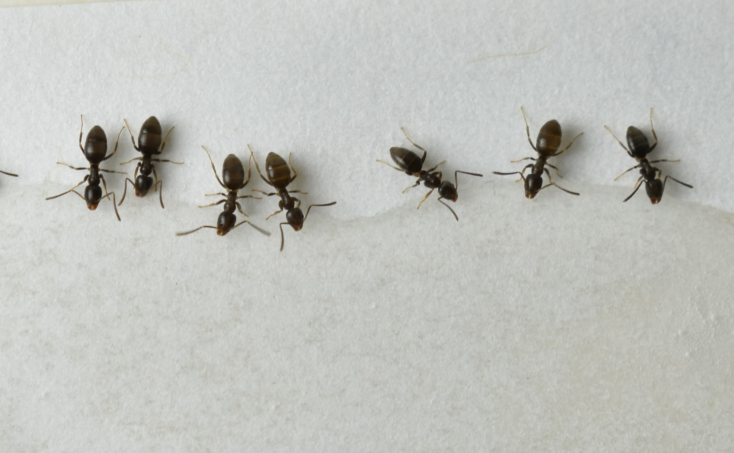 Why Odorous House Ants in the Home Are a Big Problem