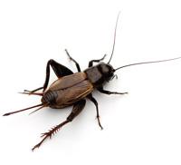 cricket pest control dallas