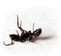 Ant Control in Dallas