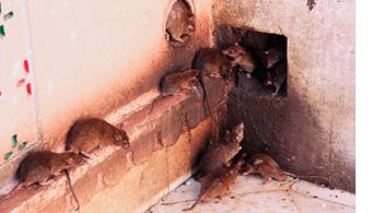 Rodent Control & Removal Dallas