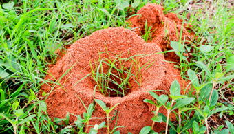 Termidor Kills Ants