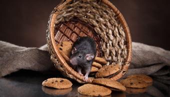 mouse removal dallas