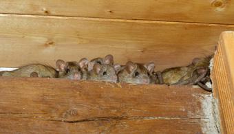 dallas rat removal