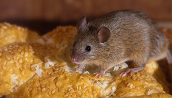 rodent removal dallas
