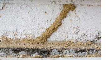 dallas subterranean termite mud tubes