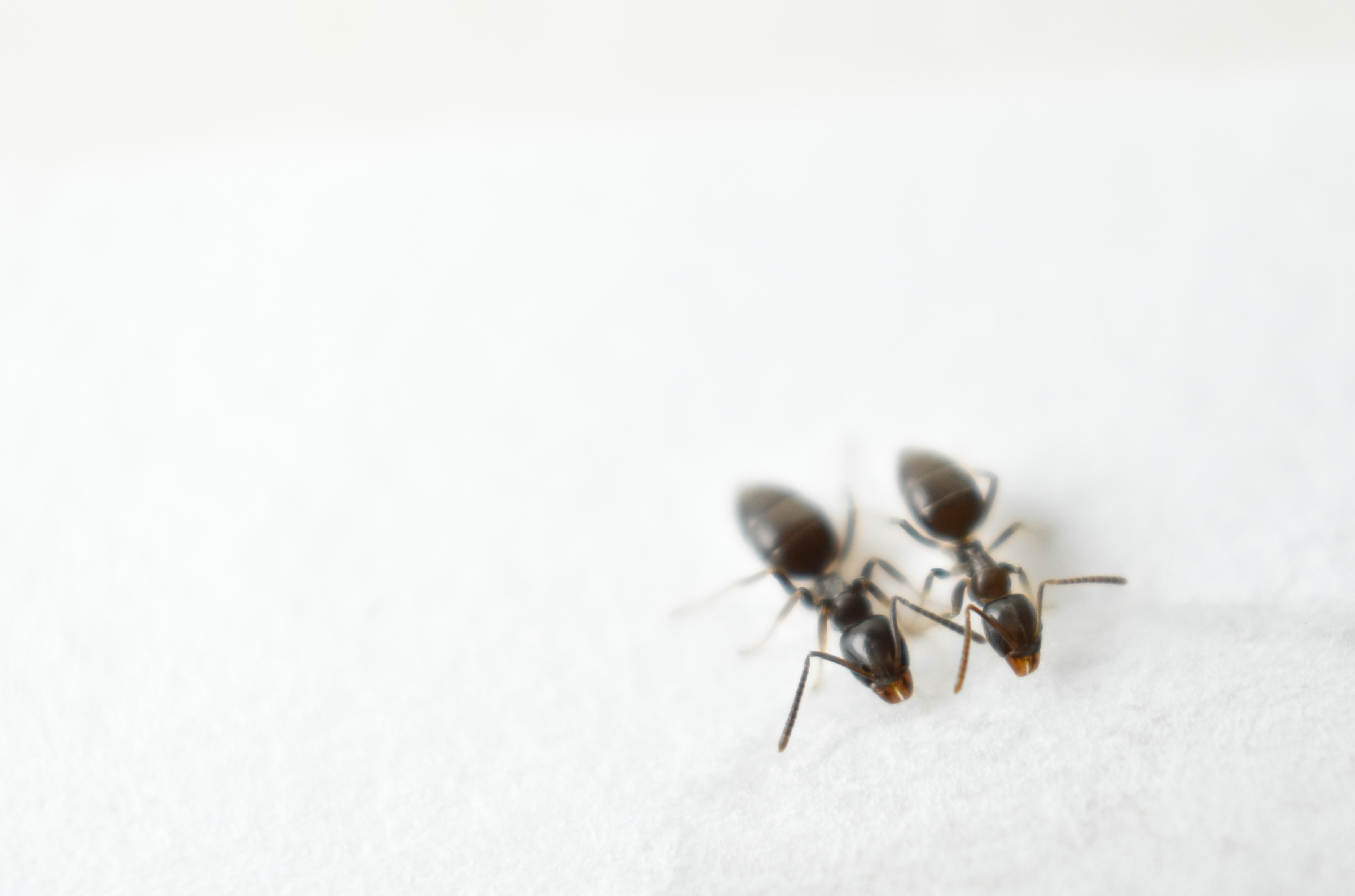 What Pest Control Techs Want You to Know About Odorous House Ants