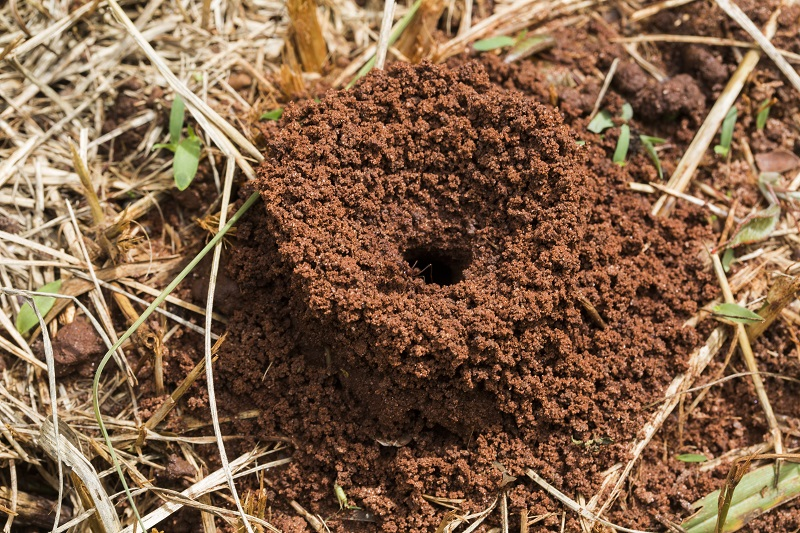 Fire Ants – How To Control Them